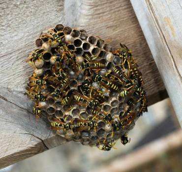 Bees & Wasps Removal